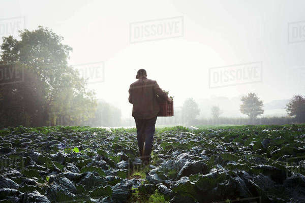 One person walking through rows of vegetables in a field, mist rising over the fields.  Royalty-free stock photo