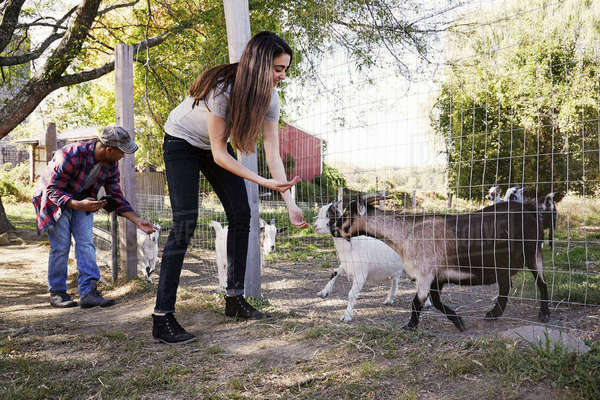 A young woman an a man crouching down and feeding a group of goats through a wire fence. Royalty-free stock photo