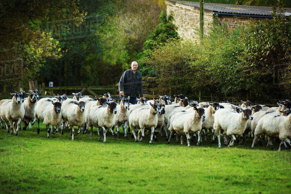 Sheep farmer on a meadow with a large flock of sheep. Royalty-free stock photo