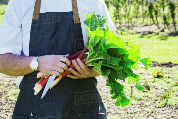 Man wearing a work apron harvesting fresh rhubarb in a garden.  Royalty-free stock photo