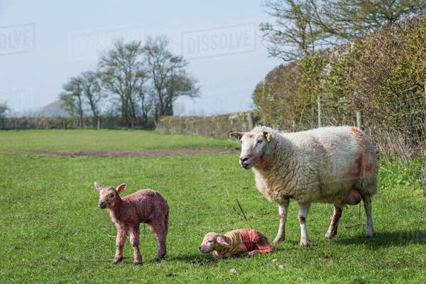 Ewe and two newborn lambs on a pasture. Royalty-free stock photo