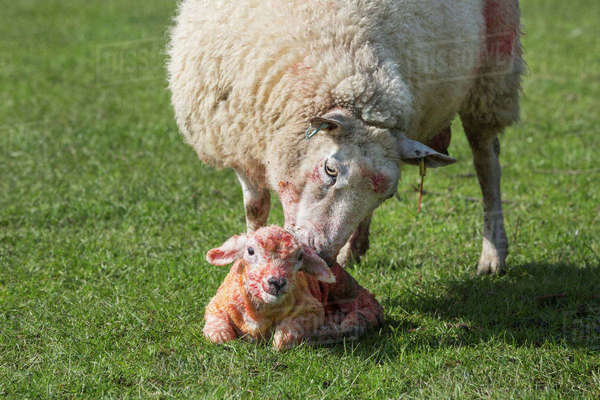 Ewe licking clean her newborn lamb lying in the grass. Royalty-free stock photo