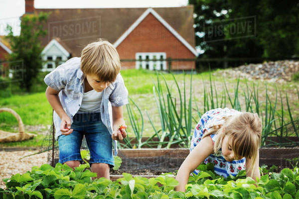 Boy and girl standing by a vegetable bed in a garden, picking vegetables. Royalty-free stock photo