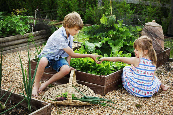 Boy and girl by a vegetable bed in a garden picking fresh produce, a basket with onions. Royalty-free stock photo
