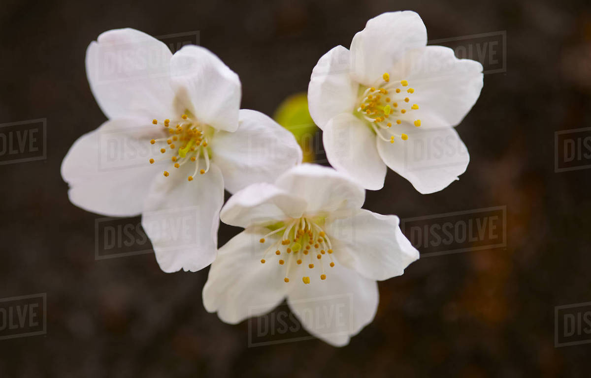 Close Up Of White Japanese Cherry Blossoms Stock Photo Dissolve