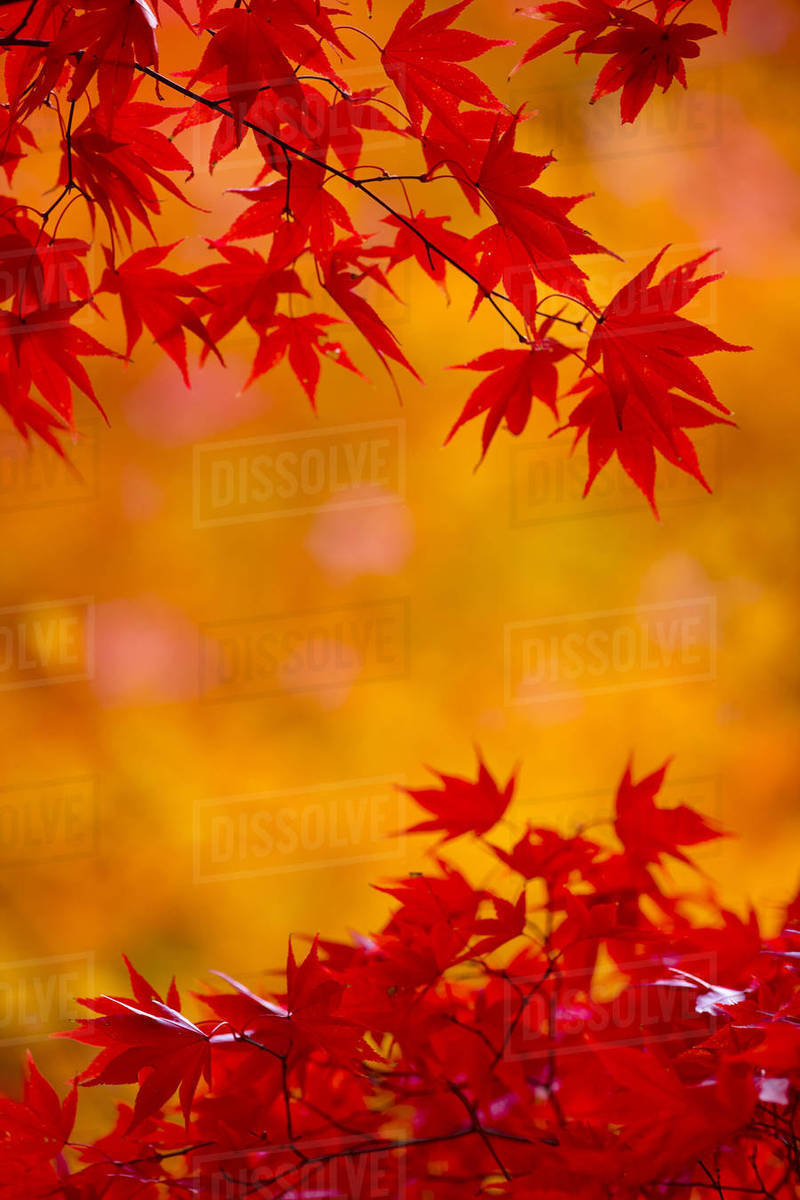 Branches Of A Japanese Maple Tree With Vibrant Red Leaves Autumn