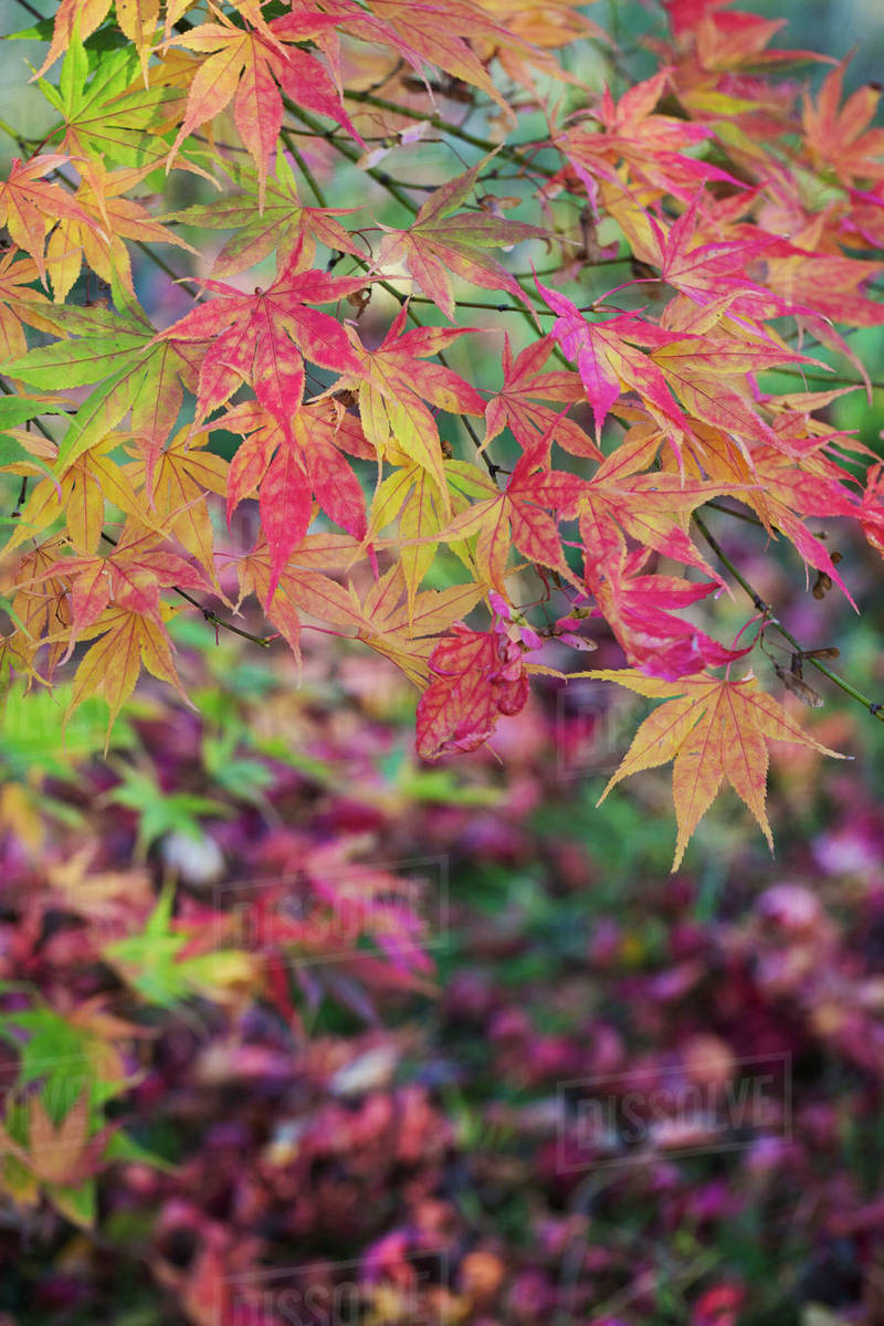 Autumn Colours Foliage Of An Acer Tree Japanese Maple With