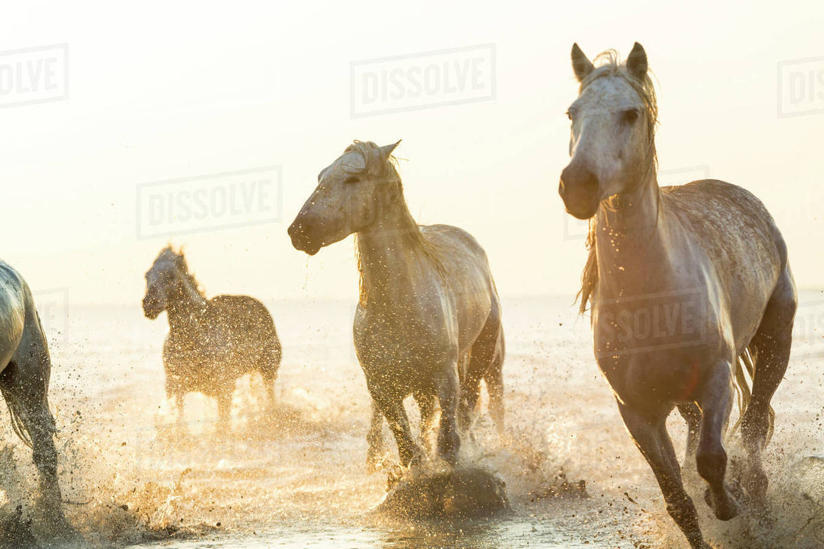 Small Group Of White Horses Running In The Ocean Stock Photo