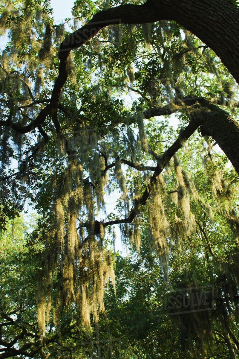 Usa Georgia Savannah Oak Trees With Spanish Moss