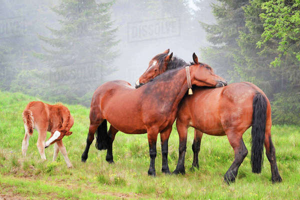 Ukraine, Ivano-Frankivsk region, Verkhovyna district, Carpathians, Chernohora, Horses in mountain pasture Royalty-free stock photo