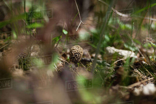 Close-up of morel mushroom growing on field Royalty-free stock photo