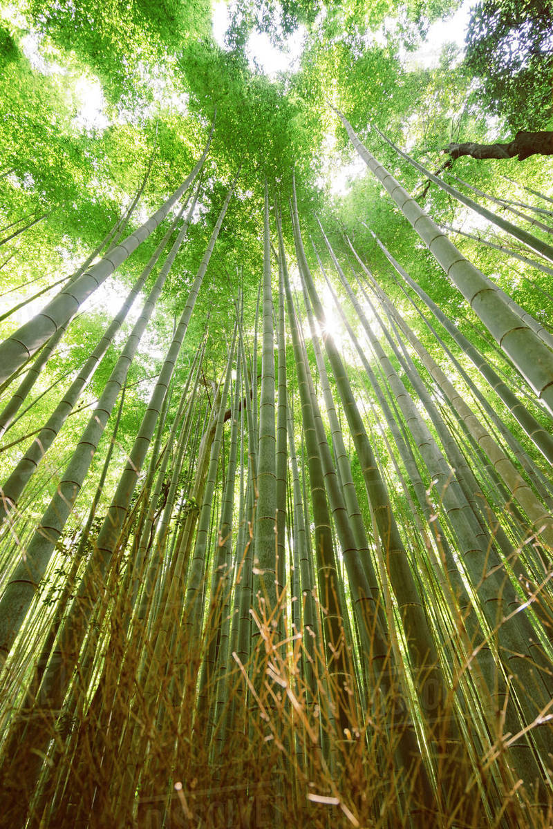 low angle view of bamboo plants in forest stock photo dissolve