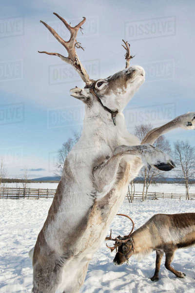 Reindeers on snowy field against sky Royalty-free stock photo