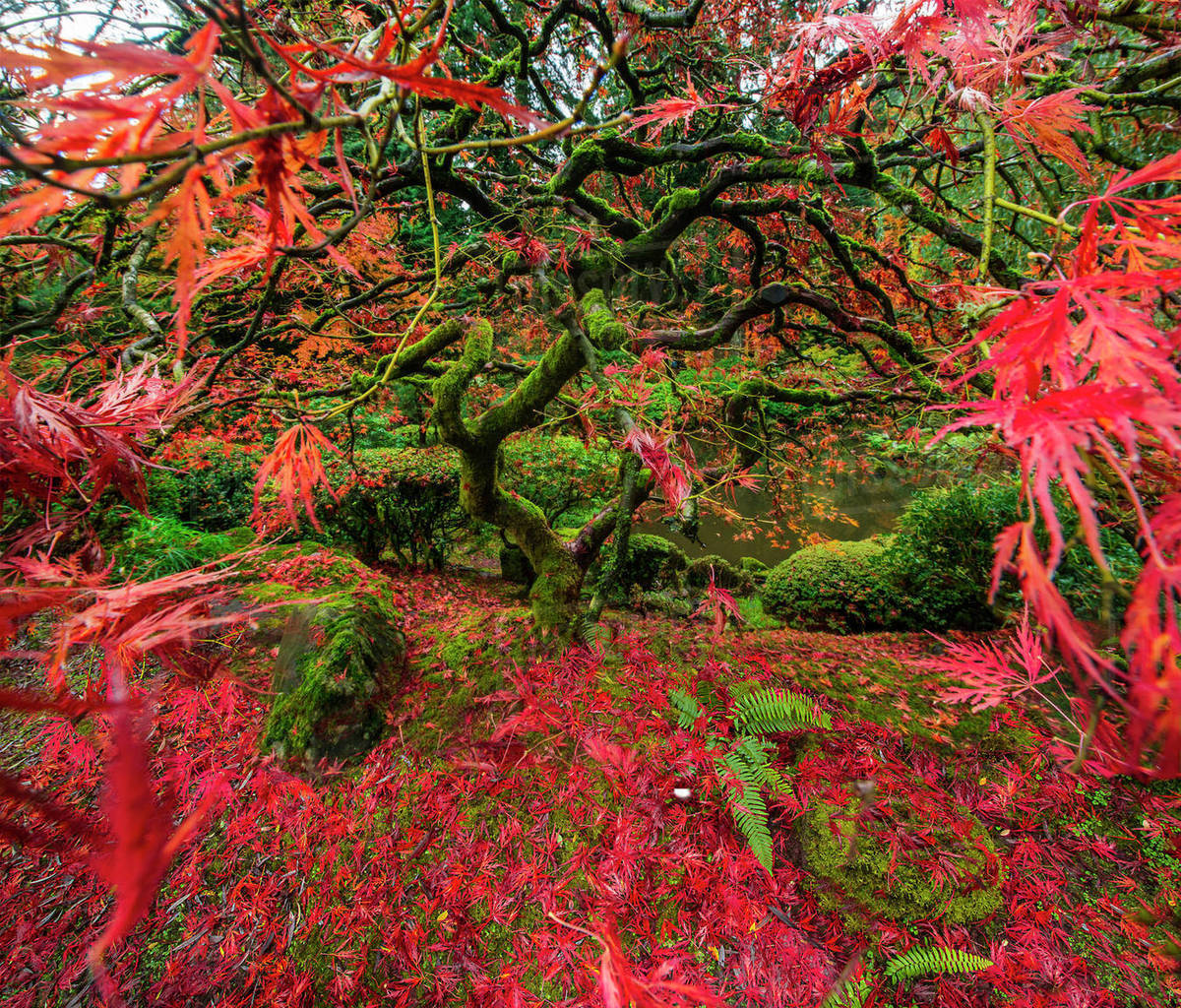 High angle view of Japanese Maple at garden - Stock Photo - Dissolve