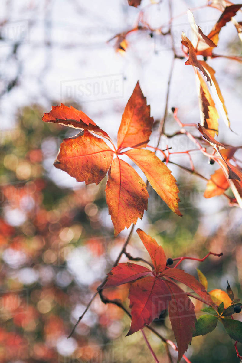 Close Up Of Autumn Leaves On Branch Stock Photo Dissolve