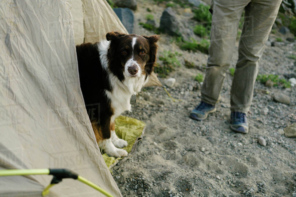 Portrait of dog in tent by woman & Portrait of dog in tent by woman - Stock Photo - Dissolve