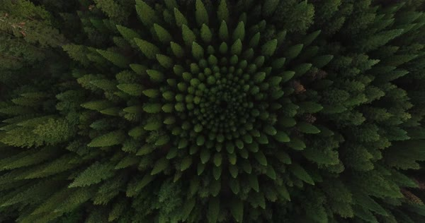 Drone shot of trees growing in forest at Mount Shasta Royalty-free stock video