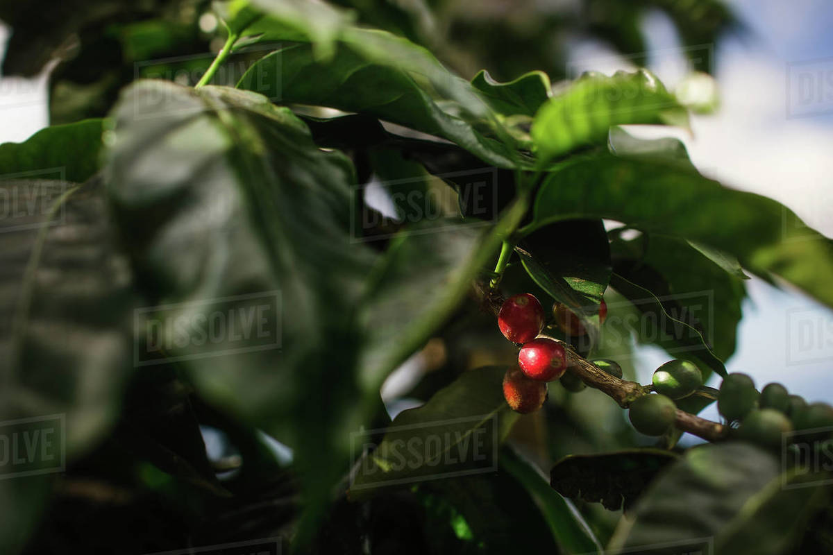 Red And Green Coffee Beans Growing On Tree Stock Photo Dissolve