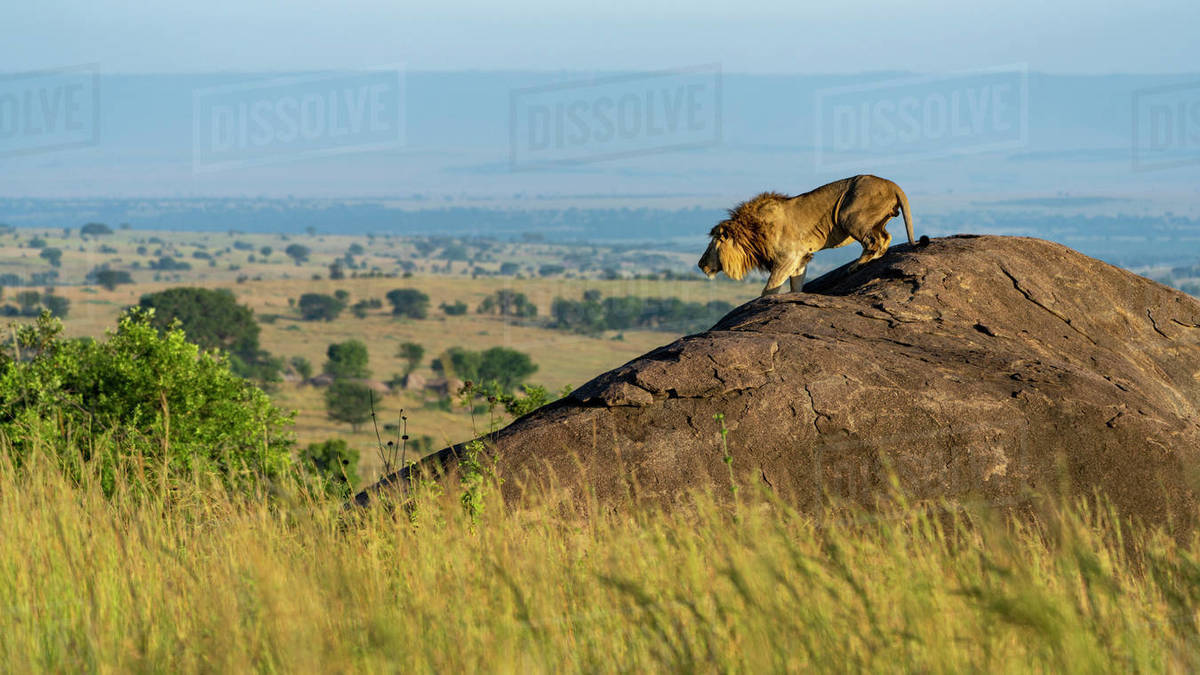 A lion descends from a rock in the early morning Royalty-free stock photo