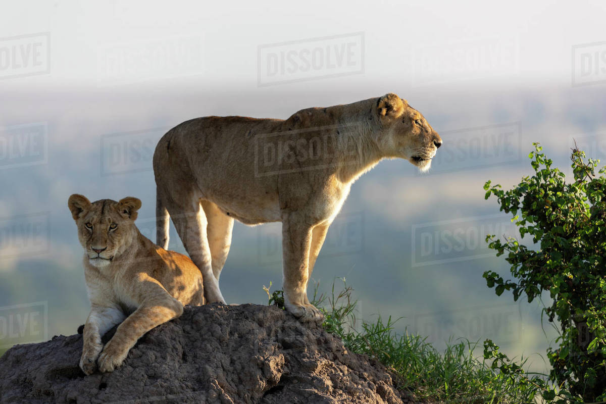 A lioness and her cub scans the surroundings from a mound of earth Royalty-free stock photo