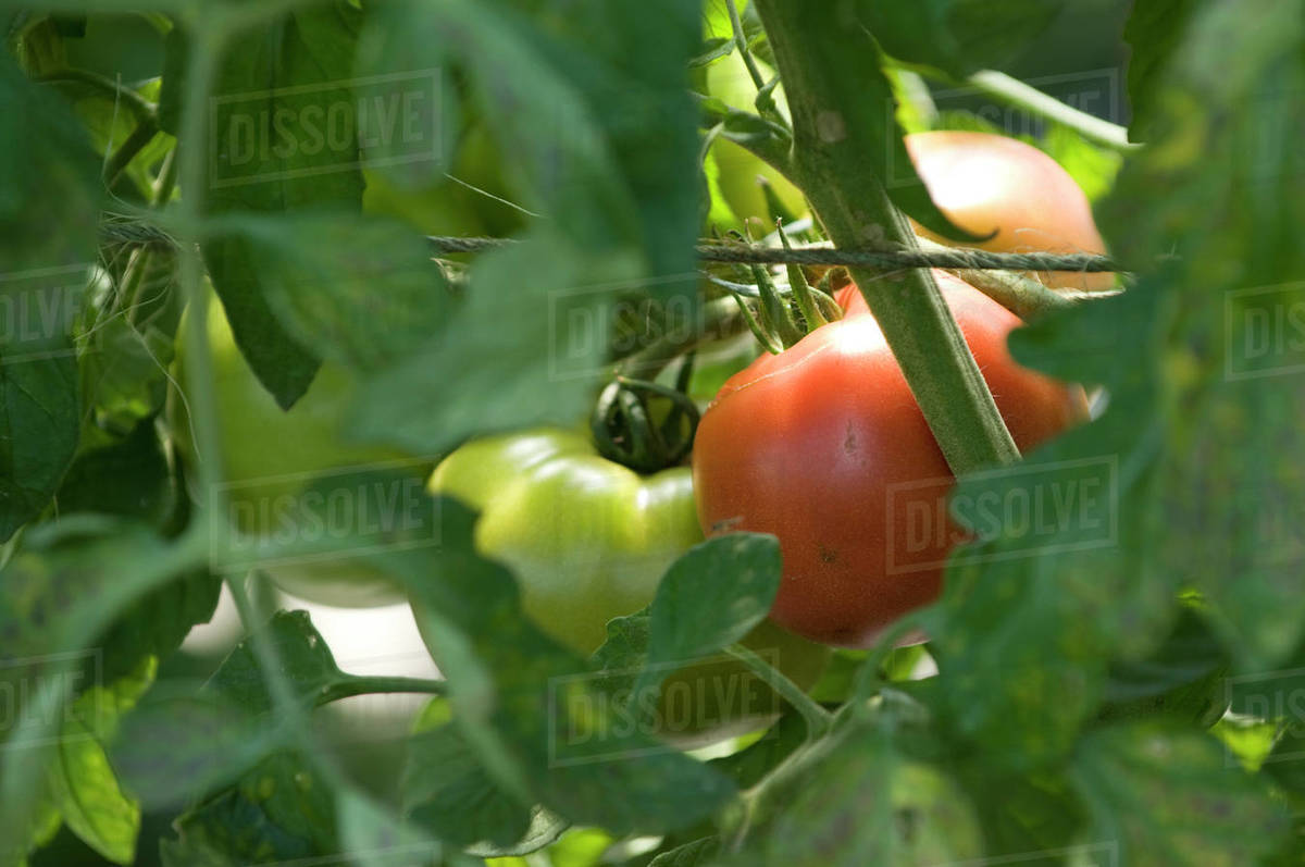 A ripening tomato on the vine Royalty-free stock photo