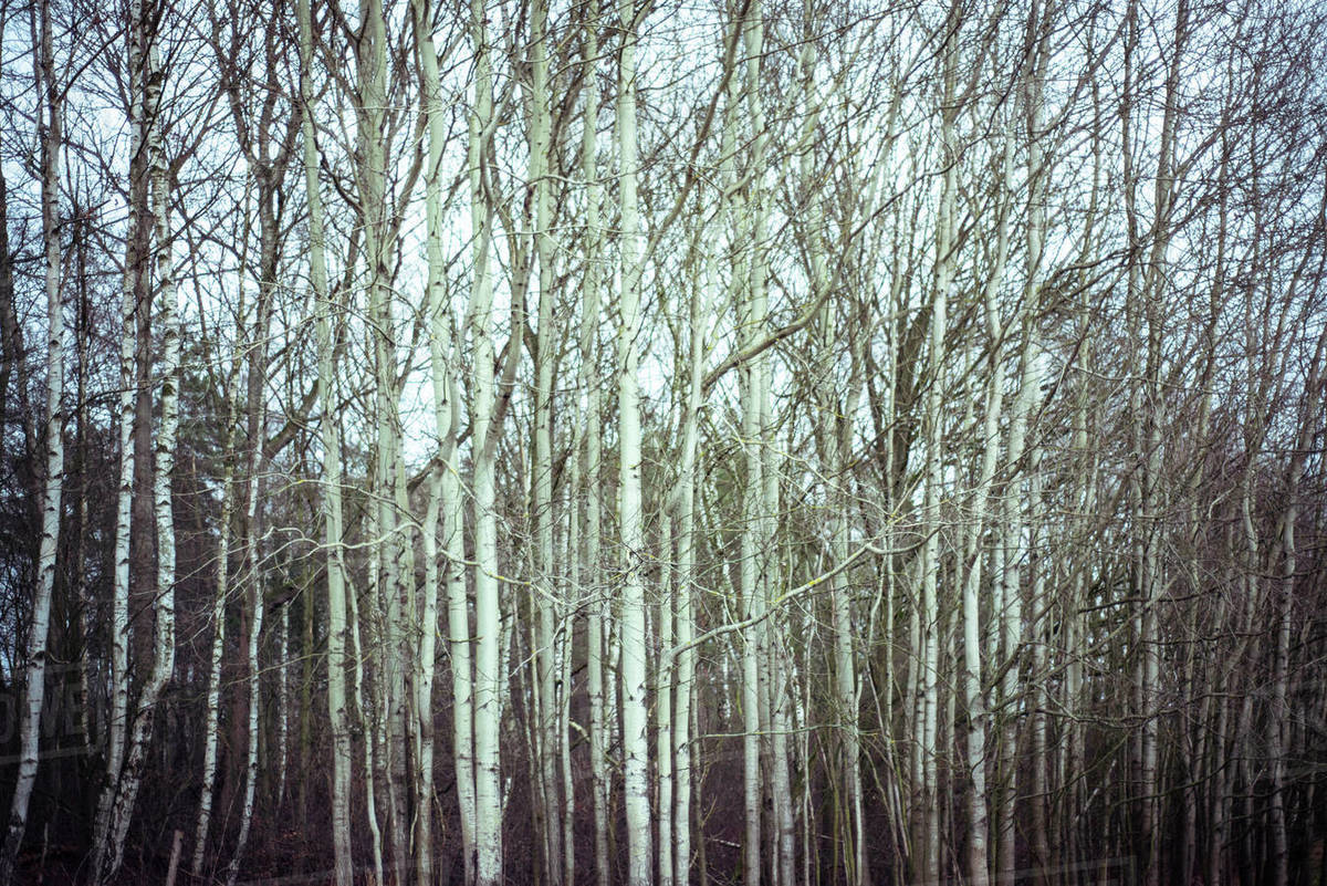 Moody emotive birch forrest at dusk in czechia during winter Royalty-free stock photo