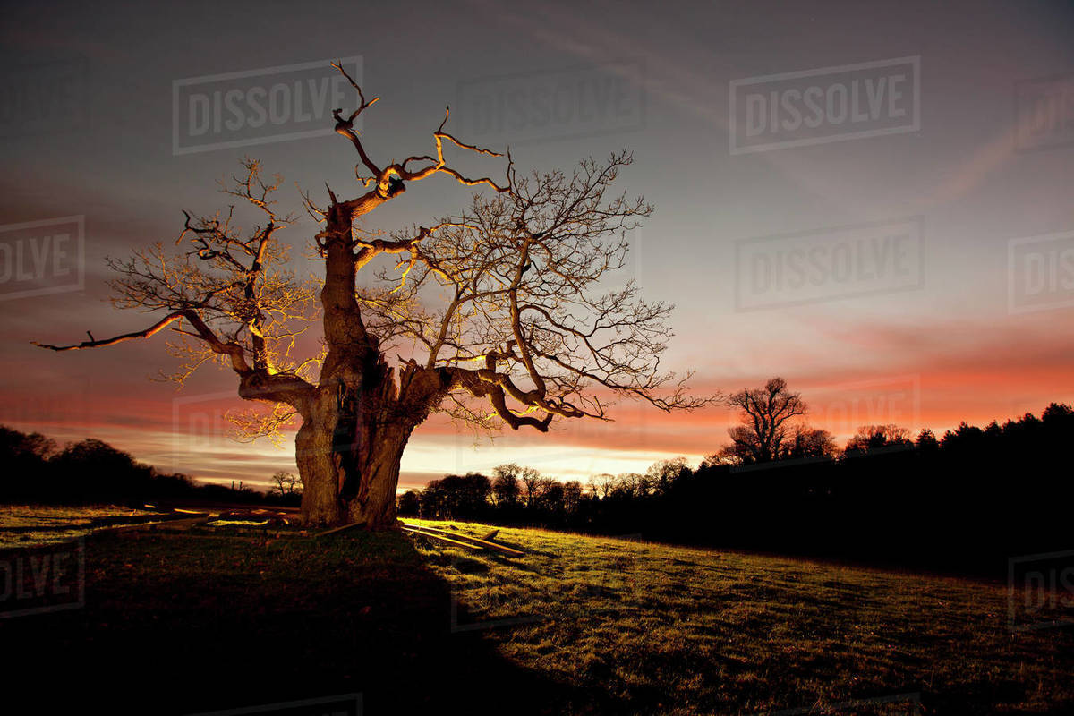 Twisted tree lit up at night in Surrey / England Royalty-free stock photo
