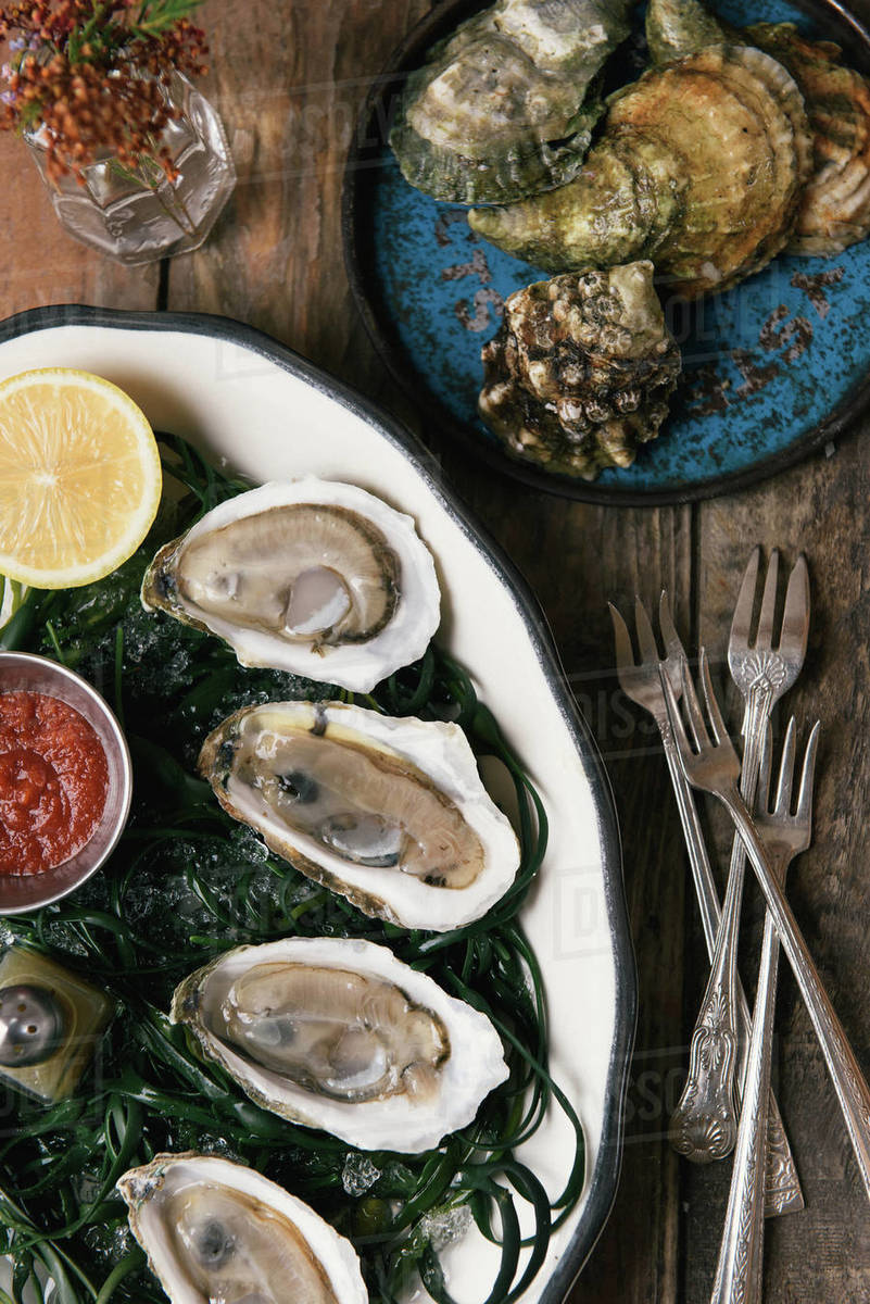 Shucked and fresh caught oysters on a bed of seaweed for appetizers Royalty-free stock photo