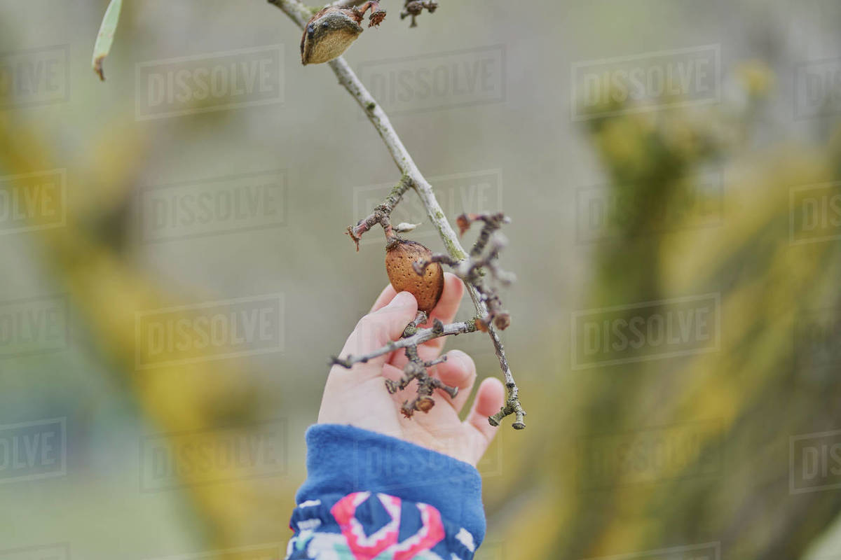 A child's hand holds an almond in the tree Royalty-free stock photo