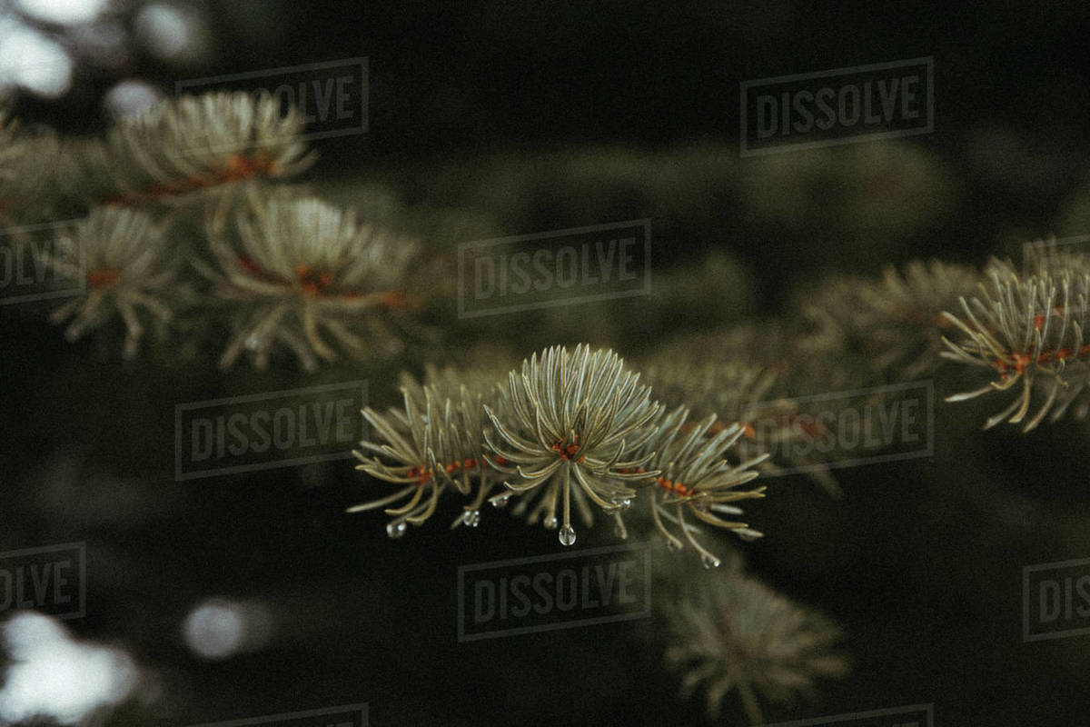 Water droplets form on blue spruce needles during spring melt Royalty-free stock photo