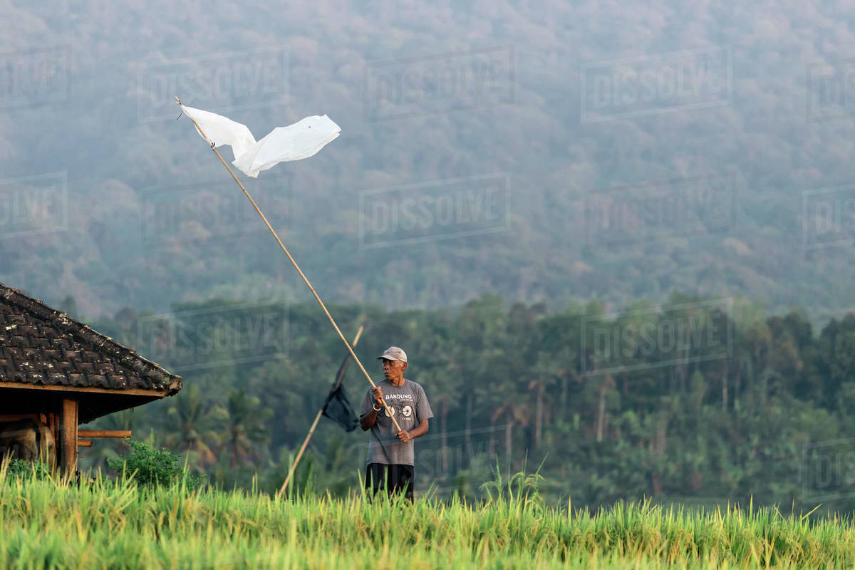 Man in rice fields, Bali, Indonesia Royalty-free stock photo