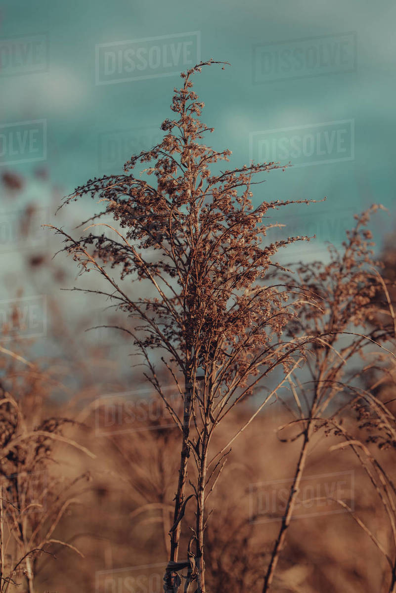 Macro dry brown plants on the field Royalty-free stock photo