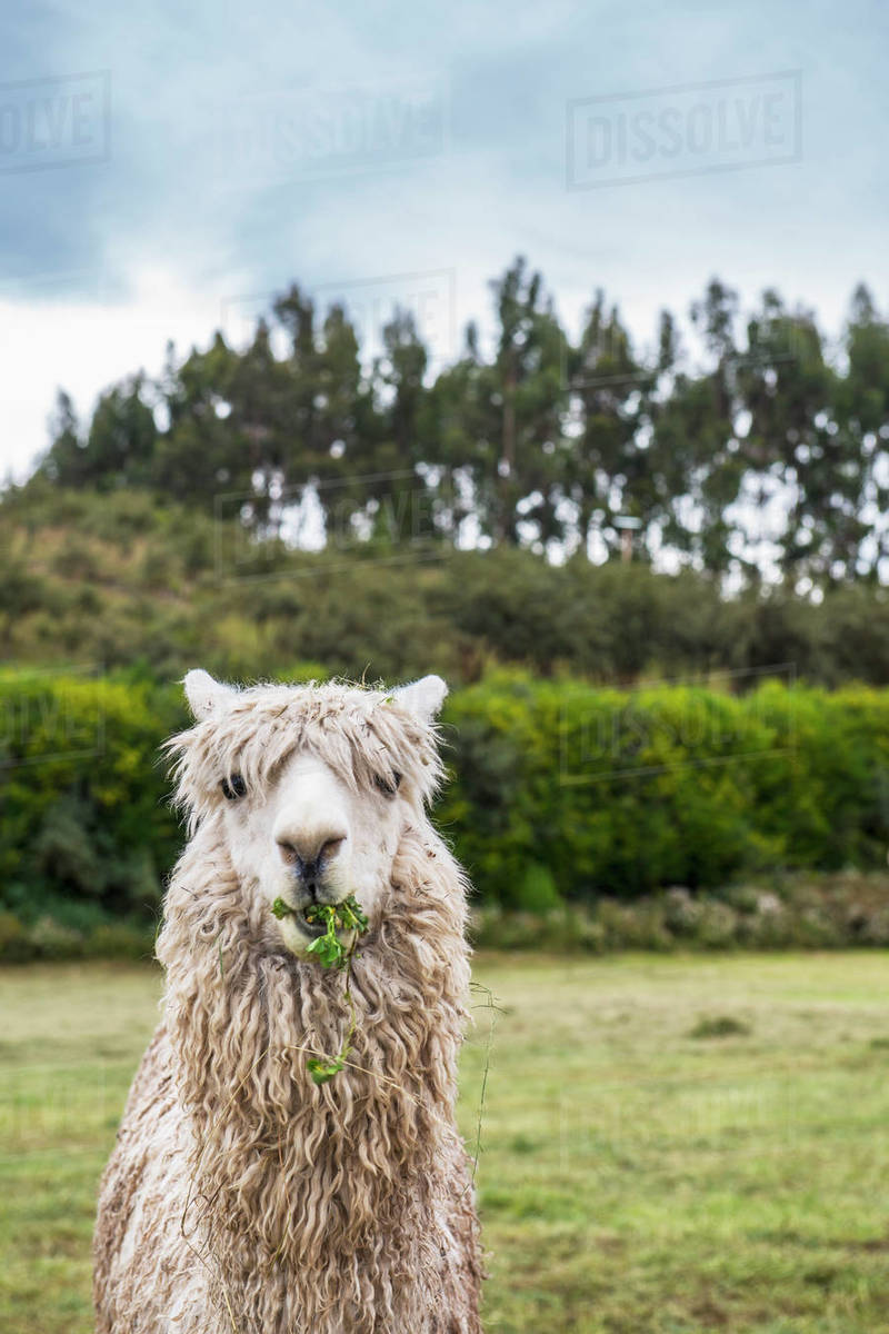 Alpaca at the old Inca site of Sacsayhuaman above Cusco / Peru Royalty-free stock photo