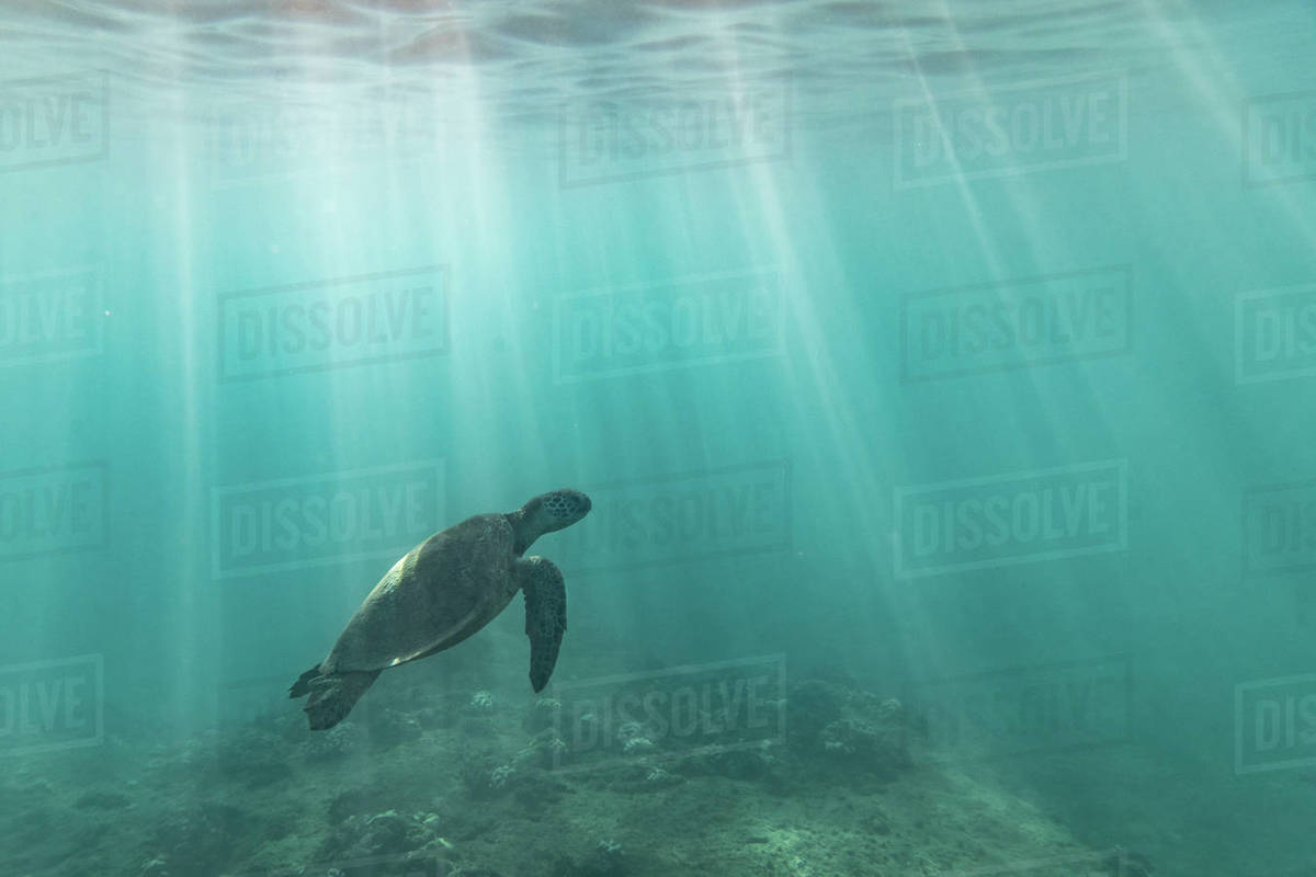 Sea turtle swims through light streaks towards the surface of the sea Royalty-free stock photo