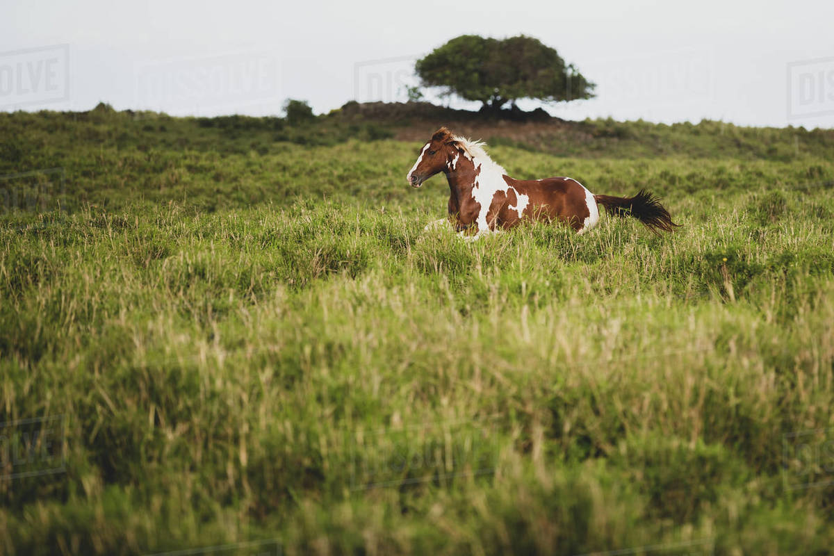 Brown and white spotted horse gallops through grassy field Royalty-free stock photo