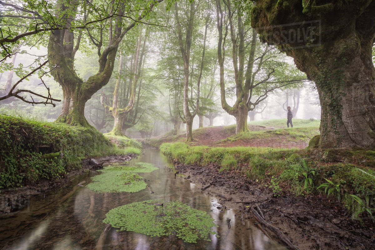Beech cloud forest in summer Royalty-free stock photo
