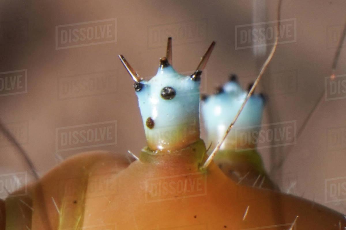 Giant peacock moth caterpillar, extreme macro body alien details Royalty-free stock photo
