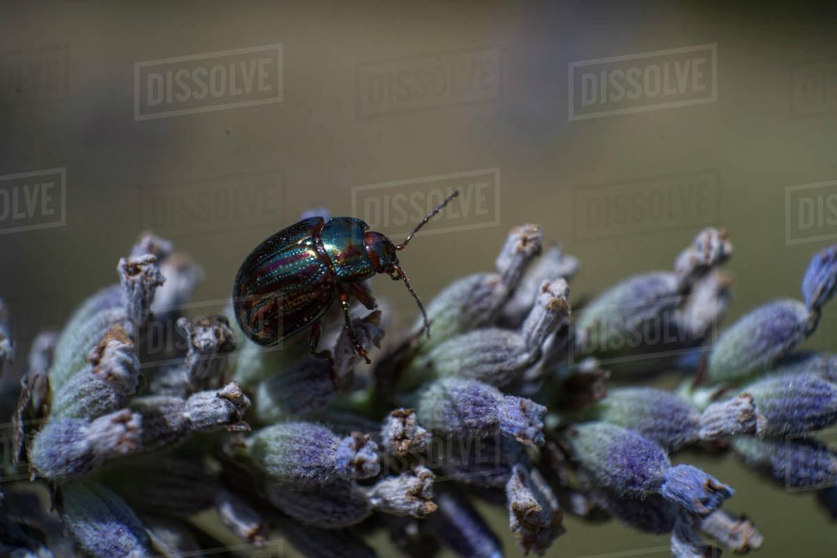 Jewel metallic shield bug on a lavender flower, extreme macro photo Royalty-free stock photo