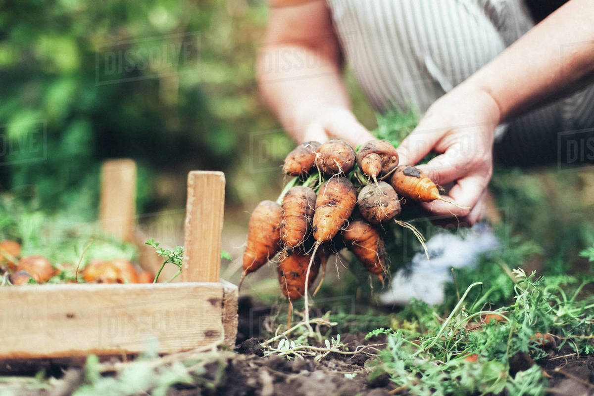 Woman harvesting carrots from backyard garden Royalty-free stock photo