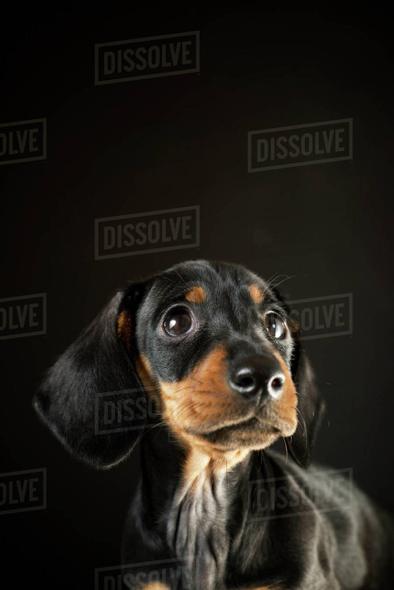 Portrait of a dachshund puppy. Royalty-free stock photo