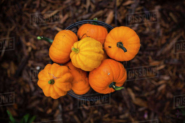 Overhead view of pumpkins in bucket on field Royalty-free stock photo