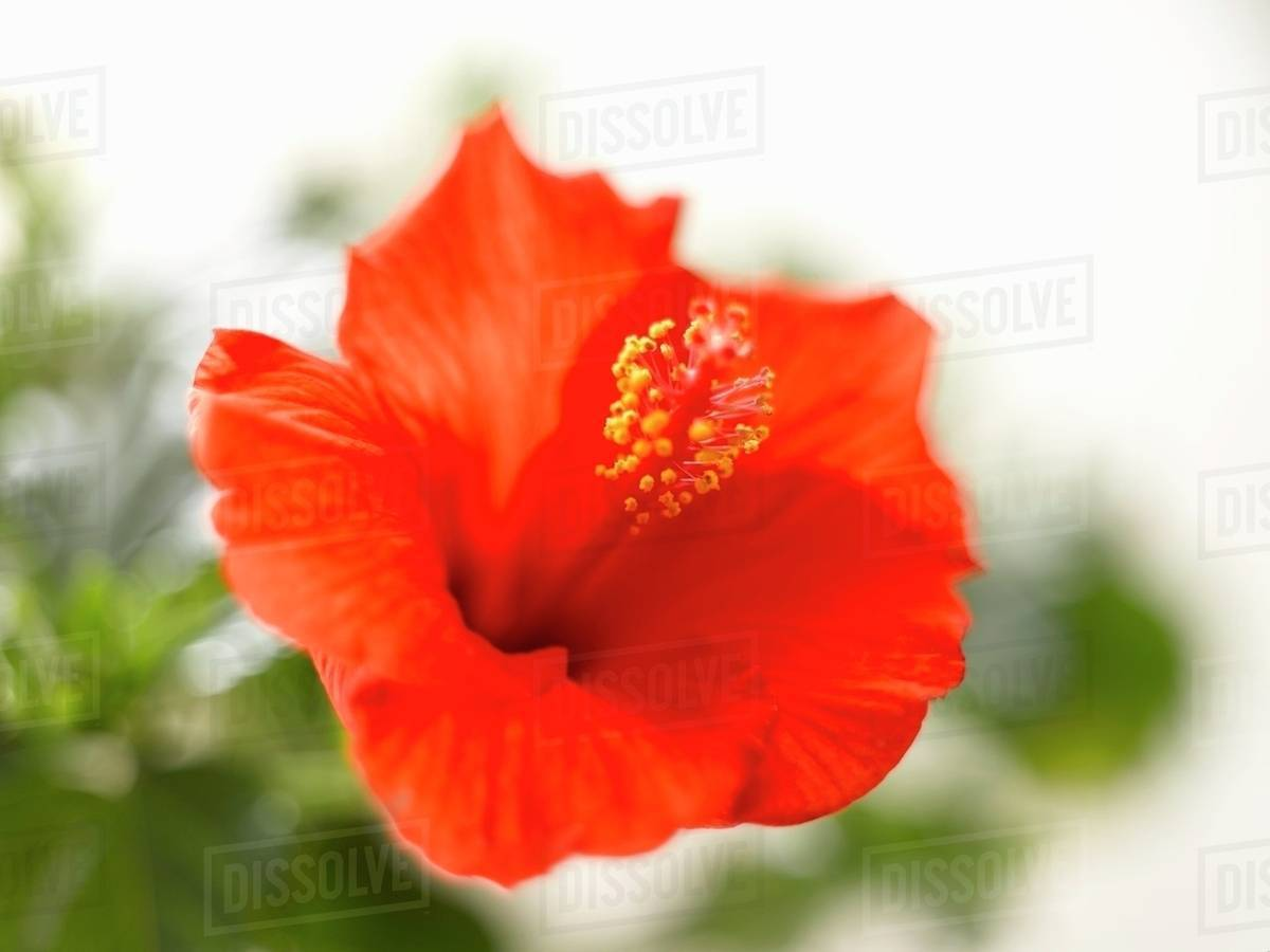 A red hibiscus flower hibiscus rosa sinensis stock photo dissolve a red hibiscus flower hibiscus rosa sinensis izmirmasajfo