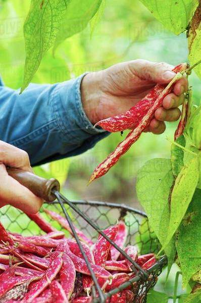 A man harvesting borlotti beans in a garden with a wire basket Royalty-free stock photo