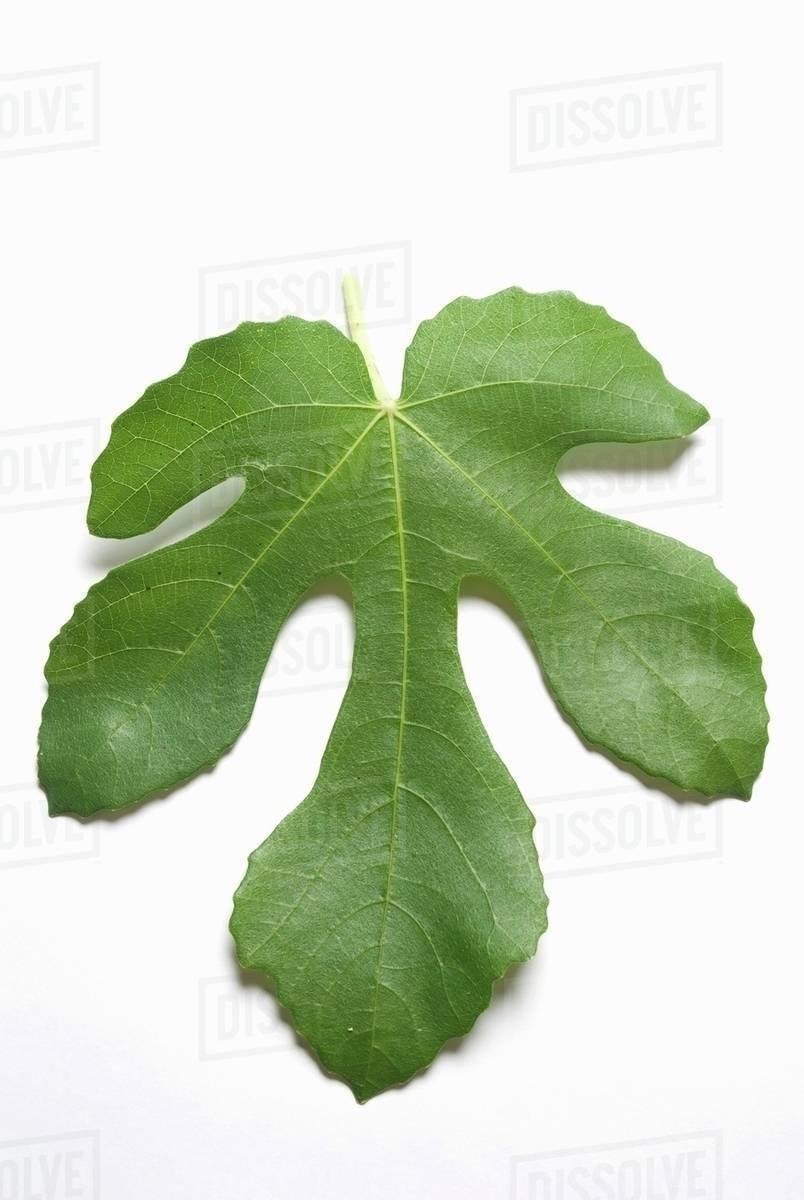 Fig leaf images 90