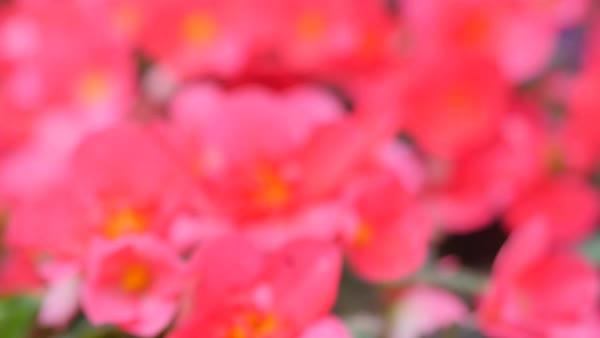Red Hydrangea In The Background Purple Garden Flowers Stock Video