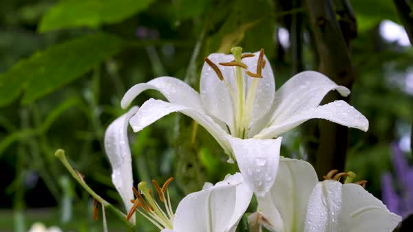 Beautiful white lilies on blurred background, close-up Royalty-free stock video
