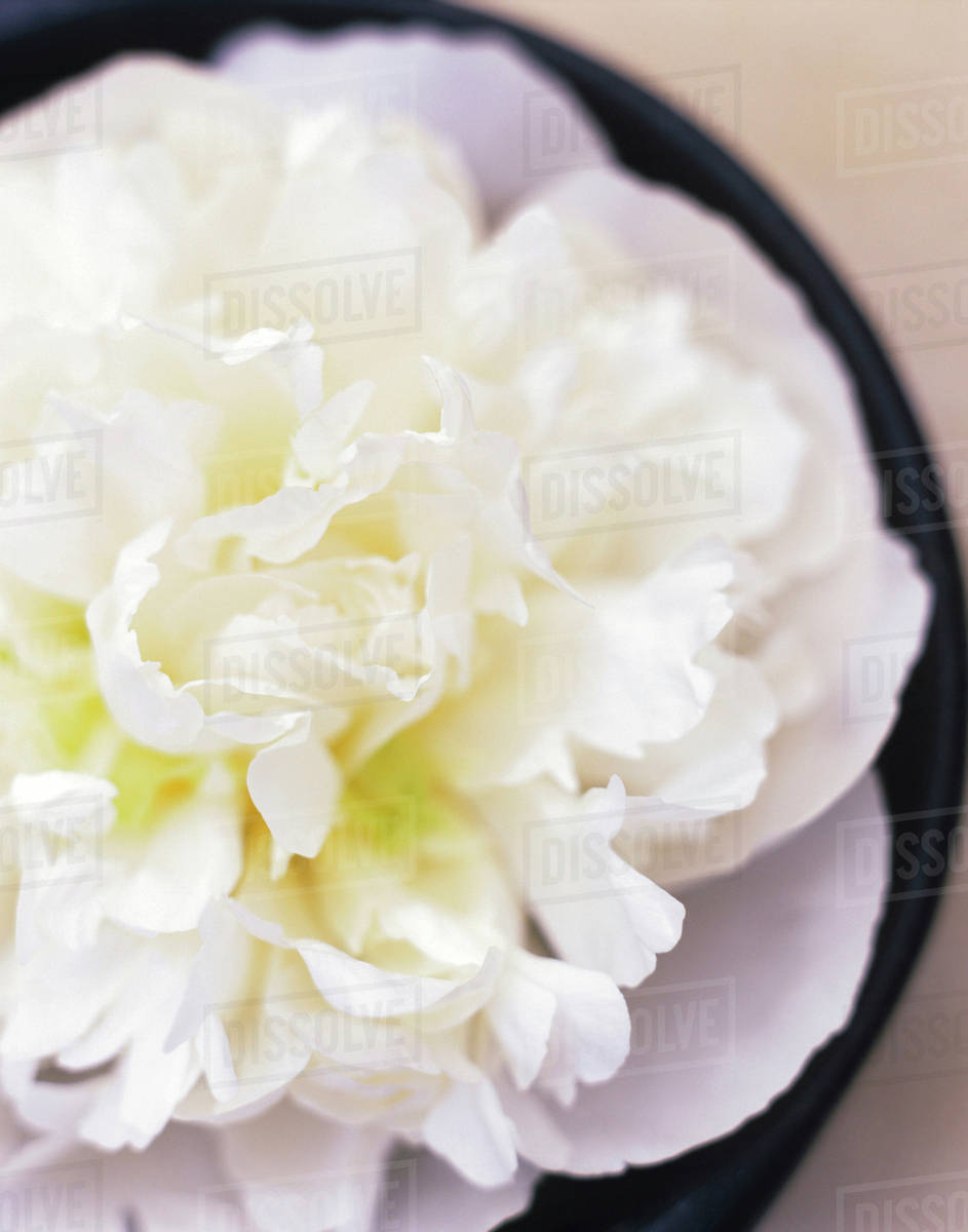 White Carnation Close Up Elevated View Stock Photo Dissolve