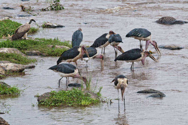 Africa, Kenya, Maasai Mara National Reserve, Marabou storks, Leptoptilos crumeniferus, eating on carcass of a Common Wildebeest, Connochaetes taurinus, drifting in the Mara River Rights-managed stock photo