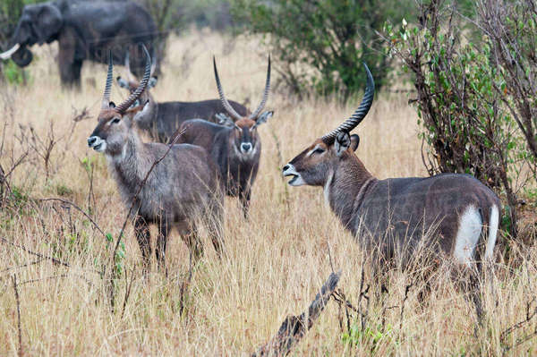 Africa, Kenya, Maasai Mara National Reserve, Group of Waterbucks, Kobus ellipsiprymnus Rights-managed stock photo