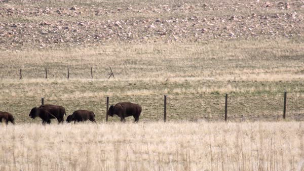 Bison running along side of a fence through a field on Antelope Island, Utah. Royalty-free stock video